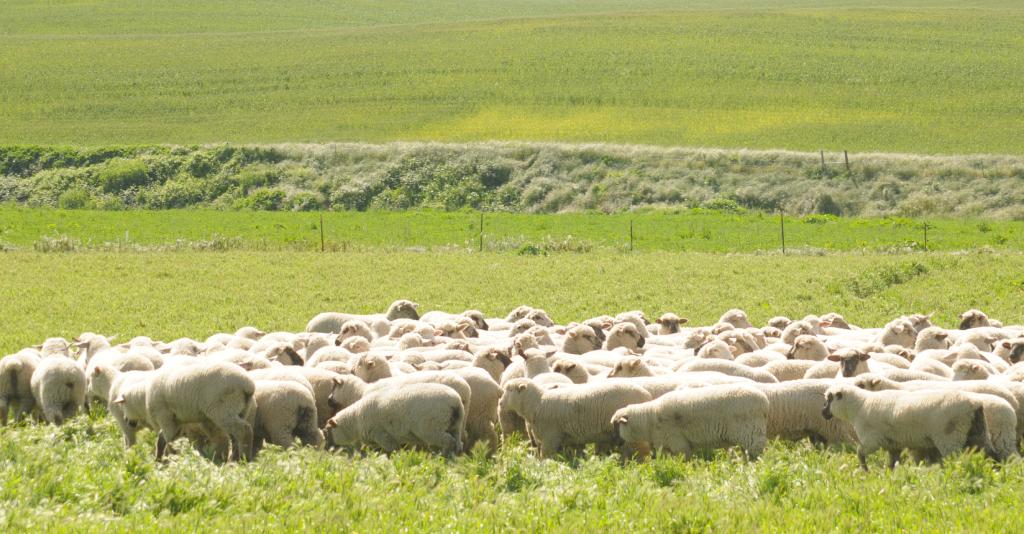 where to buy lamb